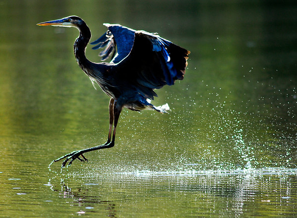 The sun highlights this Blue Heron as it skips the surface while coming down to land in the shallow waters of Shadyside Lake Tuesday afternoon.