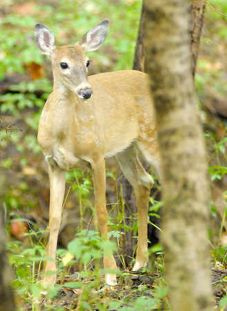 Don Knight/The Herald Bulletin<br /> A white tail deer forages through the woods at Mounds State Park on Thursday.