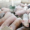 Don Knight | The Herald Bulletin<br /> Hogs gather around a feeder in the finishing barn at Schoettmer Prime Pork Farm near Tipton. With 11,000 hogs on site generally, Schoettmer is considered a Concentrated Animal Feeding Operation (CAFO).