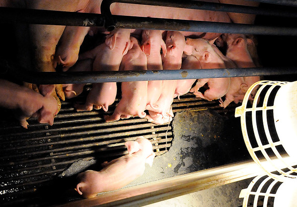 Don Knight | The Herald Bulletin<br /> A sow suckles a litter of piglets under the warmth of a heat lamp in the farrowing barn at Schoettmer Prime Pork Farm near Tipton.