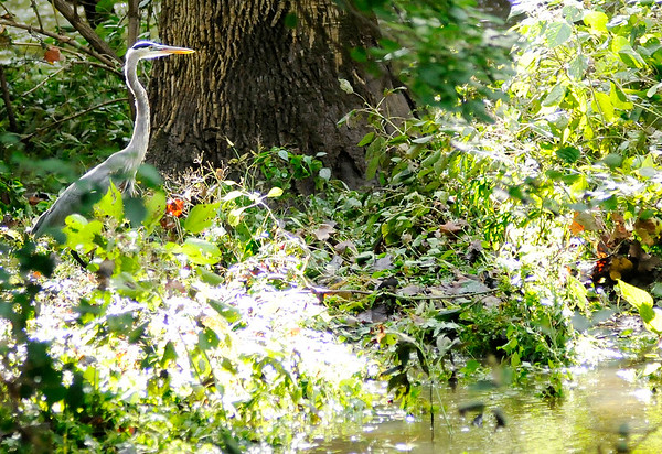 Don Knight | The Herald Bulletin<br /> A Great Blue Heron stalks the banks of Killbuck Creek as flood waters continued to recede on Tuesday.