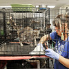 John P. Cleary | The Herald Bulletin<br /> The Animal Protection League is overran with cats as crates are stacked floor to ceiling to deal with the large numbers.  Here employee Ericka Schmidt cleans one of the numerous cages in the cat room.