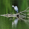 John P. Cleary | The Herald Bulletin<br /> This blue heron finds this partially submerged log a good place to groom it's self between rain showers Monday at Shadyside Lake.