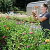Don Knight | The Herald Bulletin<br /> Christine Davies cuts zinnias from Community Hospital Anderson's farm on Wednesday. Community Northview Care Center residents create bouquets using flowers from the farm.