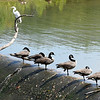 John P. Cleary   The Herald Bulletin<br /> This heron takes a lofty perch over the Canada geese lined up along the spillway at the Killbuck Wetlands Monday afternoon to keep a watchful eye out for a passing meal below.