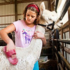 Elaina Morris, 11, of Sellersburg, grooms Yukon the alpaca before the lama show during the Clark County 4-H Fair on Saturday afternoon. Staff photo by Christopher Fryer