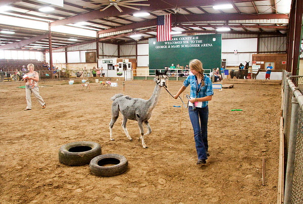 Melanie Dieterlen, 16, of Otisco, leads Silverstreak the alpaca through the obstacle course during the lama show at the Clark County 4-H Fair on Saturday afternoon. Staff photo by Christopher Fryer