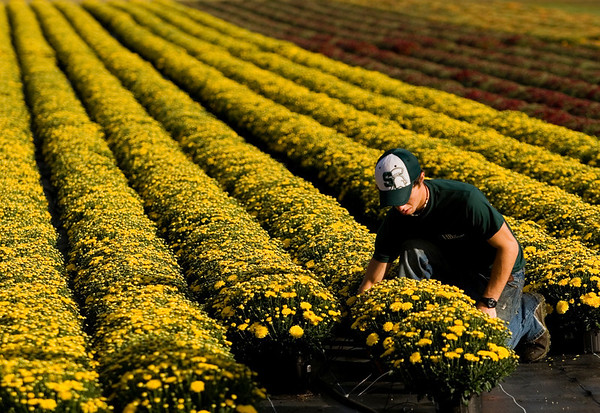 Field worker Nick Grantz harvests chrysanthemums for HB Farms Wholesale Greenhouses in a field at the corner of Starlight and Scottsville roads on Tuesday morning. All total, owner and operator Robert Wimsatt and his crews are working to harvest 80,000 of the flowers, more simply known as mums, to sell around the region this season. Staff photo by Christopher Fryer