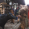 Clark County 4-H beef barn committee chairman Kevin Christman leads a steer that was tagged an enrolled Saturday morning at the 4-H Fairgrounds.   All steers, heifers and cows that Clark county 4-H members want to exhibit this summer at the 4-H Fair had to enrolled on Saturday.  Staff photo by C.E. Branham