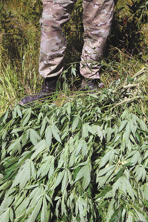 A Indiana State Police marijuana eradication team out of Sellersburg Post 45 seized more than 20 plants at their first stop Tuesday in Scott County. Staff photo by C.E. Branham