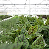 Red veined sorrel growing in the 19,000 square-foot Grateful Greens green house.