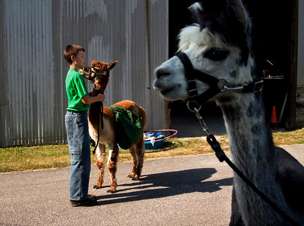William Fletcher, 11, of Georgetown, comforts his alpaca Jasper before competing in the junior performance obstacle class during the Llama and Alpaca Show at the Floyd County 4-H Fair in New Albany on Saturday morning. Staff photo by Christopher Fryer