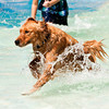 Merlin, a golden retriever, runs through the water during the Pooch Plunge at the Aquatic Center in Jeffersonville on Saturday afternoon. Staff photo by Christopher Fryer