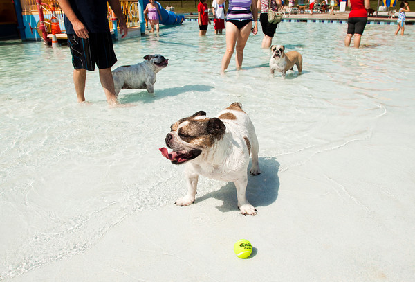 Pearl, an English bulldog belonging to Shawn and Leeanne Minton of Charlestown, plays with a tennis ball on the shore of the kid pool during the seventh annual Pooch Plunge at the Jeffersonville Aquatic Center on Saturday afternoon. This event, along with the children's goldfish run earlier in the day, were the final activities at the center for the season. Staff photo by Christopher Fryer