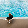 Shiloh, Luke and Lydia Church's beagle, hangs out next to the deep end during the Pooch Plunge at the Aquatic Center in Jeffersonville on Saturday afternoon. Staff photo by Christopher Fryer