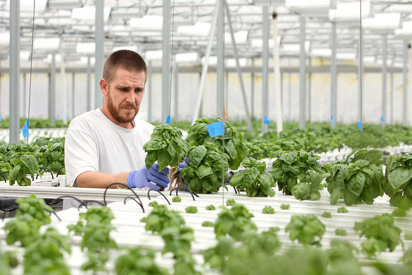 Grateful Greens employee William Heare collects basil for packaging and distribution.