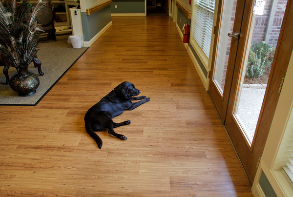 Jack, a black labrador, waits to be let outside in the Villas of Guerin Woods assisted living and skilled nursing facility in Georgetown on Thursday morning. Jack is one of two dogs now living in the facility that were adopted in September to help provide companionship for the residents. Both dogs were trained through a program at the Luther Luckett Correctional Facility in Oldham County, Ky. Staff photo by Christopher Fryer