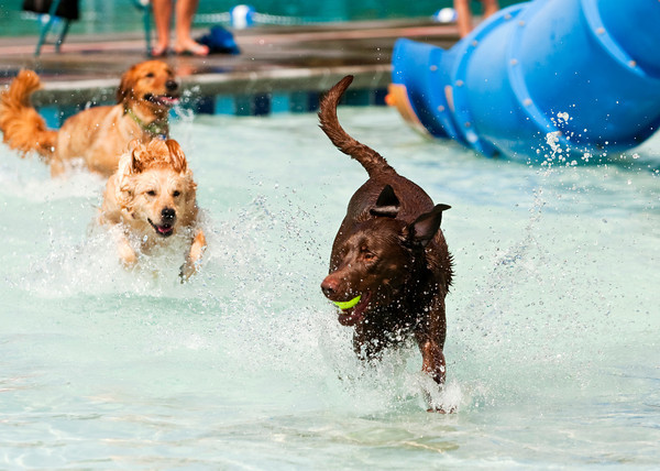 Crosley, a chocolate lab belonging to Derek and Laura Mills of Sellersburg, makes his way across the kid pool during the seventh annual Pooch Plunge at the Jeffersonville Aquatic Center on Saturday afternoon. This event, along with the children's goldfish run earlier in the day, were the final activities at the center for the season. Staff photo by Christopher Fryer