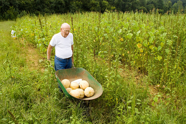 """Paul Parsons moves a load of cantaloupe melons out of his vegetable garden next to his home in Floyds Knobs on Friday afternoon. """"I enjoy watching things grow,"""" Parsons said. He sells the produce in front of his home, and leaves a box next to the price list for customers to pay on the honor system. """"It's a real challenge sometimes,"""" Parsons said about keeping his garden. The plentiful rain earlier this season has left him with many weeds, and animals such as ground hogs and deer sometimes eat the vegetables. He said it's hard to do anything about the weeds without damaging the roots of the vegetables, but he leaves a radio playing under a plastic bag in the garden at night to deter the animals. Staff photo by Christopher Fryer"""