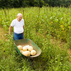 "Paul Parsons moves a load of cantaloupe melons out of his vegetable garden next to his home in Floyds Knobs on Friday afternoon. ""I enjoy watching things grow,"" Parsons said. He sells the produce in front of his home, and leaves a box next to the price list for customers to pay on the honor system. ""It's a real challenge sometimes,"" Parsons said about keeping his garden. The plentiful rain earlier this season has left him with many weeds, and animals such as ground hogs and deer sometimes eat the vegetables. He said it's hard to do anything about the weeds without damaging the roots of the vegetables, but he leaves a radio playing under a plastic bag in the garden at night to deter the animals. Staff photo by Christopher Fryer"