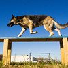 "Odin, a German shepherd, moves through an agility/confidence course with his owner, trainer Tyler Ohlmann, Louisville, not pictured, at Duffy's Dog Training Center in Jeffersonville. The owner of the center, Matthew Duffy, recently wrote ""Dog Training and Eight Faces of Aggressive Behavior: A Master's Solution to Barkers, Growlers and Biters"" which is scheduled to be released in early December. Staff photo by Christopher Fryer"