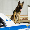 Maiko, a 20-month-old Belgian Malinois, sits on top of Clarksville Police Department K-9 handler Tony Lehman's cruiser after training in Jeffersonville on Friday afternoon. Maiko's first day as a fully certified drug and patrol K-9 will be October 20 and the Clarksville Police Department was able to acquire the dog with help from the donations of more than 20 Clarksville businesses. Staff photo by Christopher Fryer