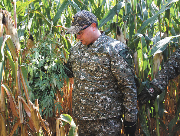 Indiana State Police Trooper Mike Bennett, coordinator of the Sellersburg Post 45 marijuana eradication team, carries out one of the many plants seized Tuesday morning in Scott County. Staff photo by C.E. Branham