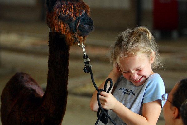 Samantha Rasor reacts after her alpaca Jimmy Boy nibbled her ear Monday morning at the Clark County 4-H Fairgrounds. Rasor was getting Jimmy Boy ready to show in the llama and alpaca show. Staff photo by C.E. Branham