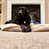 Jack, a black labrador, sits on his bed in the Villas of Guerin Woods assisted living and skilled nursing facility in Georgetown on Thursday morning. Jack is one of two dogs now living in the facility that were adopted in September to help provide companionship for the residents. Both dogs were trained through a program at the Luther Luckett Correctional Facility in Oldham County, Ky. Staff photo by Christopher Fryer
