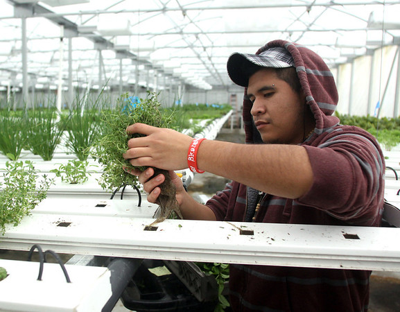 Ruben Encarnacion collects thyme at Grateful Greens in Clarksville.  All hetbs and lettuces are grown hydroponically.