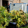 Clarksville police dismantled a elaborate indoor marijuana growing operation Wednesday afternoon at the Riverchase apartments. Staff photo by C.E. Branham