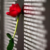 A rose sits leaned up against the American Veterans Traveling Tribute Vietnam Wall next to the Clarksville Municipal Center along Veterans Parkway on Friday afternoon. Staff photo by Christopher Fryer
