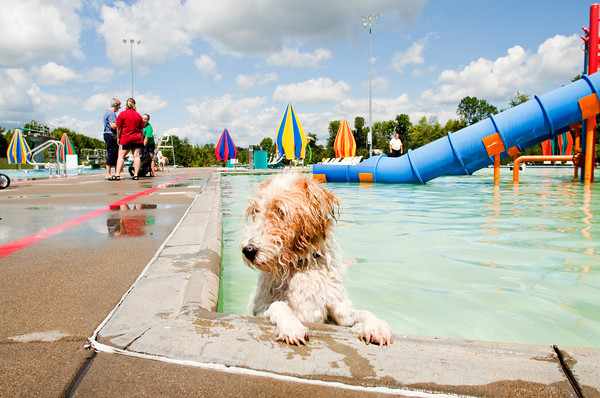 Pacino, a fox terrier, attempts to find the best way out of the water during the Pooch Plunge at the Aquatic Center in Jeffersonville on Saturday afternoon. Staff photo by Christopher Fryer