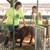 Calvin Mullins, 9, and his mother, Christy, Marysville, work together to guide their swine, Clark, from his pen in the stables of the Clark County 4-H fairgrounds Thursday morning. Both Christy and Calvin underwent recent surgeries to remove masses from their torsos. While Christy was in the midst of her medical scare, doctors found a tumor on Calvin's spine after he complained of chest pains while breathing. <br /> Staff photo by Tyler Stewart