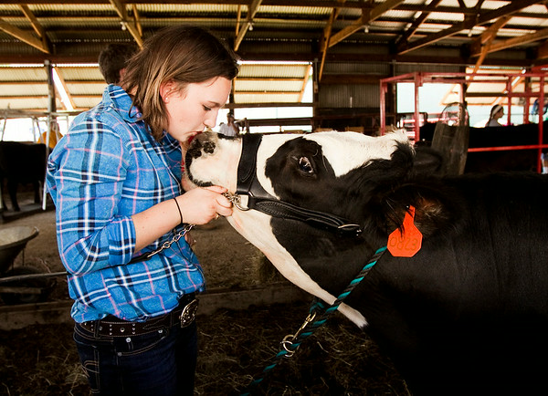 Stephanie Byrnes, 15, Georgetown, comforts Dallas the steer before the Beef Show during the Floyd County 4-H Fair at the fairgrounds in New Albany on Wednesday afternoon. Byrnes lead Dallas on to place as the reserve grand champion steer during the contest. The fair runs through Saturday, July 12. Staff photo by Christopher Fryer