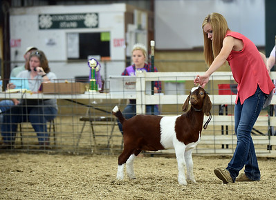 Breann Hendrickson, 19, positions her goat during the 4-H Female Goat Show & Dairy Goat Showmanship event in the indoor arena of the Clark County 4-H fairgrounds Thursday morning.  Staff photo by Tyler Stewart