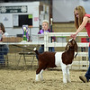 Breann Hendrickson, 19, positions her goat during the 4-H Female Goat Show & Dairy Goat Showmanship event in the indoor arena of the Clark County 4-H fairgrounds Thursday morning. <br /> Staff photo by Tyler Stewart