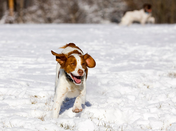 Lola, a two-year-old spaniel owned by Sean and Carol Edwards, both of New Albany, runs through the snow at the Floyd County 4-H Fairgrounds in New Albany on Tuesday afternoon. According to the National Weather Service, Wednesday will see a high near 26. Staff photo by Christopher Fryer
