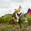 A fake coyote is pictured in the Jeffersonville Aquatic Center along Middle Road on Monday afternoon. The artificial animal was installed to help repel water fowl, which are believed to be responsible for a positive strand of E. coli that was found in the water last week. Staff photo by Christopher Fryer