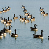 A flock of geese float in a pond next to the Clarksville Municipal Government Center on Wednesday morning. Feces and feathers from the geese and other water foul are causing problems on the city property. Staff photo by Christopher Fryer