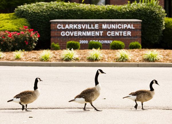 Geese walk past the Clarksville Municipal Government Center on Wednesday morning. Feces and feathers from the geese and other water foul are causing problems on the city property. Staff photo by Christopher Fryer