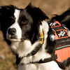 Louie, a border collie trained as a recall/refind rescue dog, keeps an eye on his handler, Paula Lomax, Sellersburg, during a training session in Clark County. A search and rescue dog trained in recall/refind will find a subject, return to their handler and lead them to the individual. Staff photo by Christopher Fryer