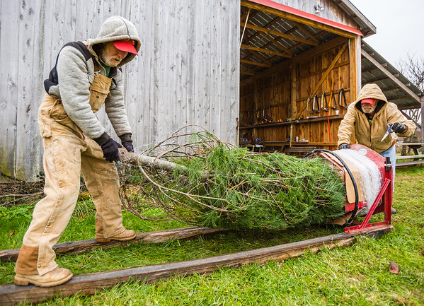 Wade Burkhart, left, and Del Tustin bale a large Christmas Tree for easier transport at Meyer Christmas Trees in Borden on Saturday. Staff Photo By Josh Hicks