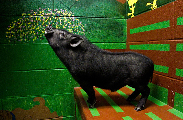 Collins the pot-bellied pig is pictured inside the New Albany-Floyd County Animal Shelter on Tuesday afternoon in downtown New Albany. The six or seven month old pig was found by a farmer in Floyds Knobs earlier this month. Staff photo by Christopher Fryer
