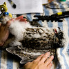 A peregrine falcon chick is pictured on a table as bird biologists with the Indiana Department of Natural Resources examine and work to tag the chick for cataloging purposes at Duke Energy's Gallagher Generating Station in New Albany on Monday morning. The baby falcon is one of three that are being raised by a pair of adults in a nesting box maintained by the Ind. DNR that is located about 400 feet up on one of the station's two stacks. Staff photo by Christopher Fryer