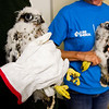 Two peregrine falcon chicks are pictured at Duke Energy's Gallagher Generating Station after being examined and tagged for cataloging purposes by bird biologists with the Indiana Department of Natural Resources in New Albany on Monday. Staff photo by Christopher Fryer