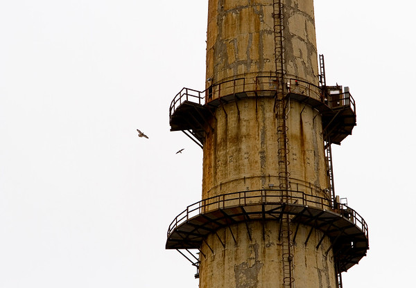 An adult pair of peregrine falcons circle their nest located about 400 feet up on a stack at Duke Energy's Gallagher Generating Station on Monday morning as bird biologists with the Indiana Department of Natural Resources retrieve the three chicks they are raising to tag and examine them for cataloging purposes. Staff photo by Christopher Fryer