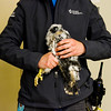 A peregrine falcon chick is pictured at Duke Energy's Gallagher Generating Station after being examined and tagged for cataloging purposes by bird biologists with the Indiana Department of Natural Resources in New Albany on Monday. Staff photo by Christopher Fryer