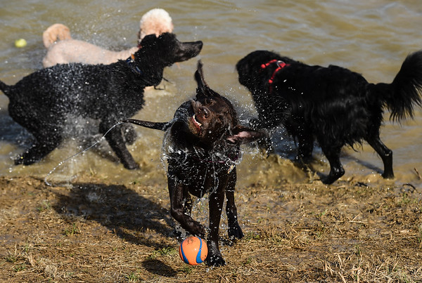 Maggie, a 10-year-old chocolate Lab, shakes water off her coat after retrieving a ball from the resevoir at the New Albany Dog Park on Tuesday, following the park's grand opening. Staff photo by Tyler Stewart