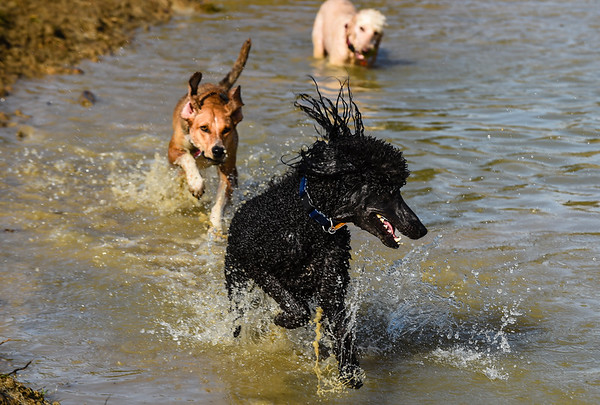 Bazinga, a 4-year-old poodle, runs through the water as Corby, a year-old hound mix, chases him through the water resevoir at the New Albany Dog Park on Tuesday. Staff photo by Tyler Stewart